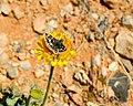 Desert Marigold (8950618974).jpg