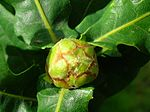 Developing artichoke gall.JPG