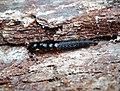 Devil's Coach Horse larvae (39604686240).jpg
