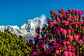 Dhaulagiri and Rhododendron..JPG