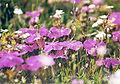 Dianthus alpinus Alpennelke Rax2.jpg