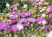 Alpennelke (Dianthus alpinus)