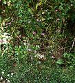 Dianthus armeria 3.jpg