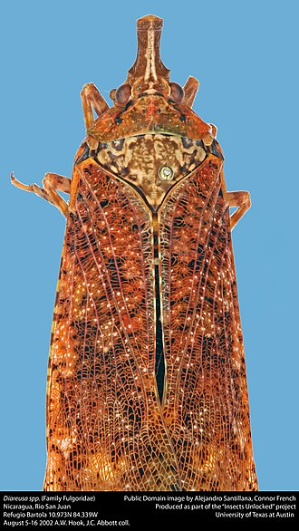 Fulgorinae - Image: Diareusa spp. (23299729920)