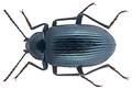 Dichotymus coeruleatus Kolbe, 1897 (28528588954).png