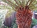 Dicksonia antarctica (Tasmanian Fern Tree).jpg