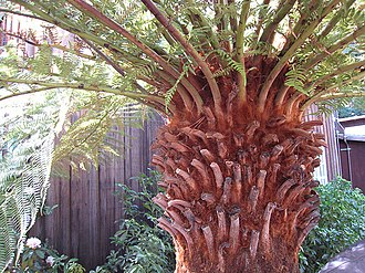 Caudex - The caudex of a tree fern resembles the trunk of a woody plant, but has a different structure.