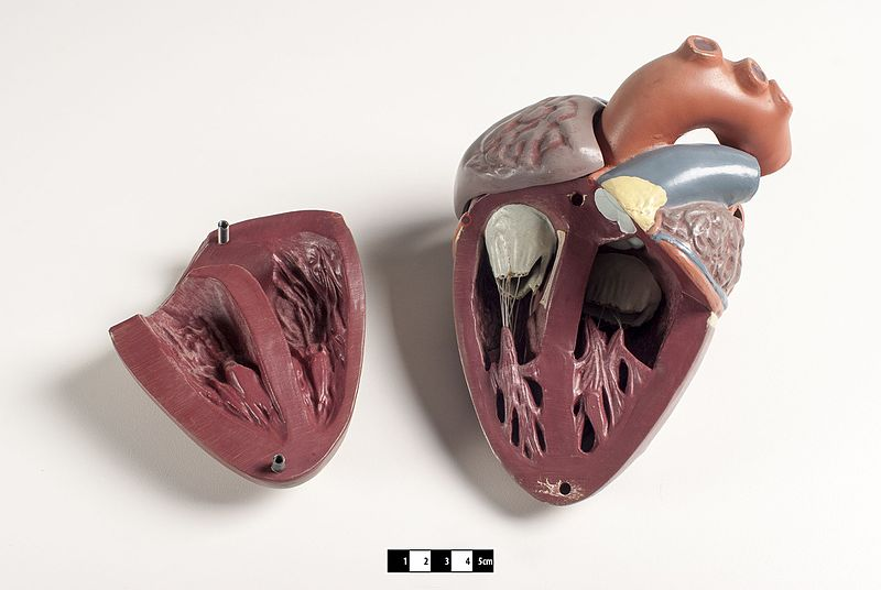 Didactic model of a mammal heart 04--FMVZ USP-11.jpeg