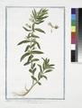 Digitalis minima, Gratiola dicta - Gratia Dei, e Graziola - Gratiole (NYPL b14444147-1125117).tiff