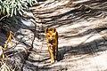 Dingo Pup.jpg