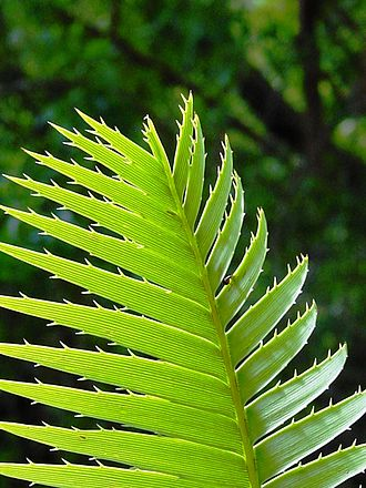Dioon - Leaf of Dioon spinulosum with are identified by the veining and prickly margin