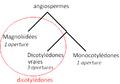 Divergence des dicotylédones.PNG