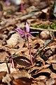 Dogtooth violet - Erythronium dens-canis - panoramio (12).jpg