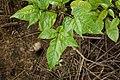 Dolichandrone spathacea 5139.jpg