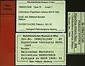 Dolichoderus tertiarius NHMW1984-31-252 dorsal.jpg