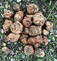 Donbalan or Truffle Fungus.jpg