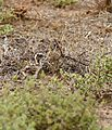 Double-banded Courser (Rhinoptilus africanus) chick (32648945120).jpg