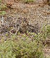 Double-banded Courser (Rhinoptilus africanus) chick (32648945120).jpg