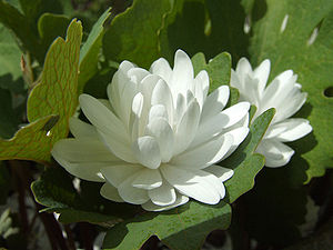 Sanguinaria - A double-flowered form