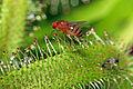 Drosophila melanogaster ♀ Melgen, 1830, Drosera capensis Linnaeus, 1753 1100.1.2174.JPG