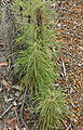 Dryandra columnaris.JPG