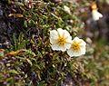 Dryas octopetala IMG 5643 reinrose reinsdyrflya.JPG