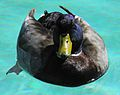 Duck in OB pool.JPG