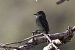 Dusky Flycatcher - Hunter Canyon.jpg