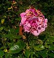 Dying Rose.jpg