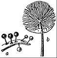 EB1911 Mycetozoa - Lamproderma irlaeum.jpg