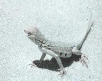 Holbrookia - Image: Earless Lizard in WSNM