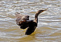 East River Cormorant 2 (6215424794).jpg