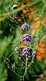Easton Lodge Gardens, Little Easton, Essex, England ~ Verbena bonariensis purpletop vervain 3.jpg
