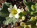 Ecballium elaterium FlowerCloseup 17October2009 DehesaBoyaldePuertollano.jpg