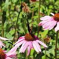 Echinacea purpurea-IMG 5669.jpg
