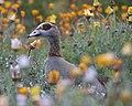 Egyptian Goose, Kirstenbosch, Cape Town 1.jpg