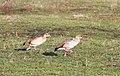 Egyptian geese at Lackford Lakes - geograph.org.uk - 1068714.jpg