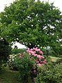 Eiche mit Rhododendron.JPG