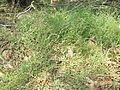 Einadia nutans subsp linifolia plant1 (16126560508).jpg