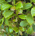 Elaeocarpus serratus leaves.jpg