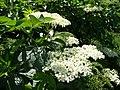 Elder flowers, Sambucus nigra - geograph.org.uk - 841561.jpg