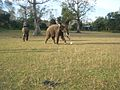 Elephants are playing football.jpg
