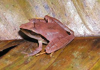 Eleutherodactylus - Eleutherodactylus mimus