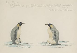Edward Adrian Wilson - Drawing of two emperor penguins with chicks by Wilson (Sept. 1903)