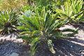 Encephalartos longifolius - Leaning Pine Arboretum - DSC05527.JPG