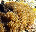 Entacmaea quadricolor amarilla.jpg