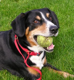 Entlebucher Mountain Dog - Entlebucher with a tennis ball