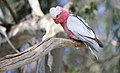 Eolophus roseicapilla -Flinders Ranges, South Australia-8.jpg