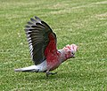 Eolophus roseicapilla takeoff.jpg