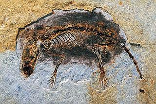 <i>Eomaia</i> Extinct family of mammals